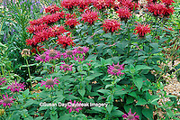 "63821-03012 Gardenview Scarlet and Prairie Night Bee Balm (Monarda Didya 'Gardenview Scarlet'  & Monarda Didyma ""Prairie Night"")   Marion Co., IL"
