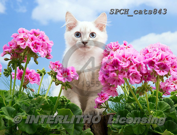 Xavier, ANIMALS, REALISTISCHE TIERE, ANIMALES REALISTICOS, cats, photos+++++,SPCHCATS843,#a#