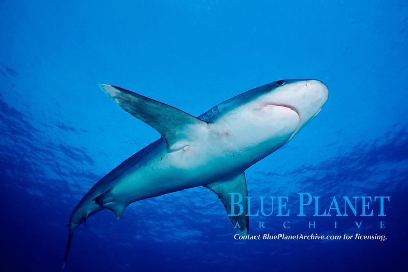 silvertip shark, Carcharhinus albimarginatus, Burma Banks, Myanmar (Andaman Sea)