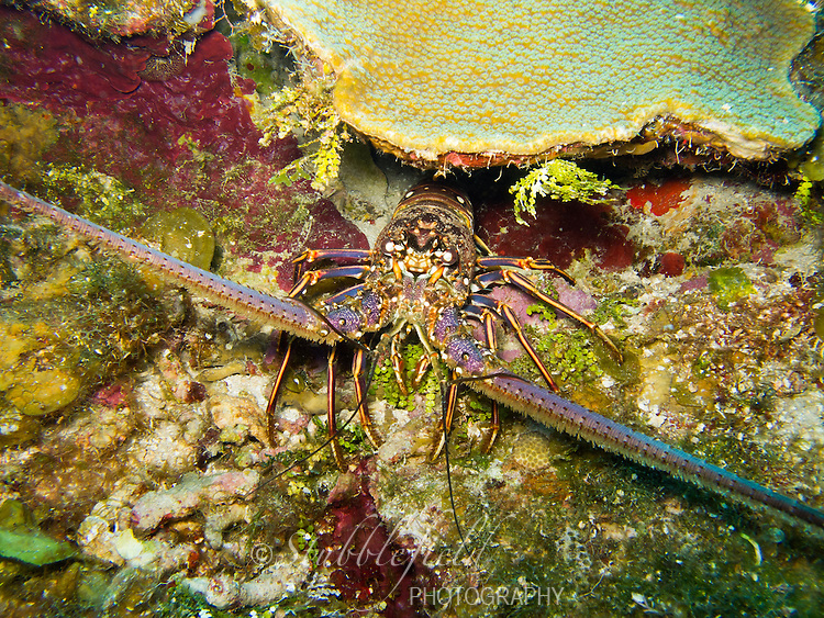 Caribbean Spiny Lobster (Panulirus argus) on a tropical coral reef off the island of Roatan, Honduras.