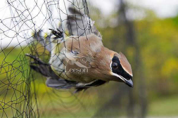 Cedar Waxwing (Bombycilla cedrorum) caught in mist net to monitor fall migration & population trends, Haldimand Bird Observatory, s. Ontario, Canada.