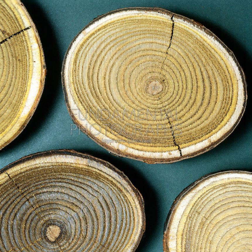 GROWTH RINGS IN TREE TRUNK<br /> A Result Of New Growth In The Vascular Cambium<br /> Visible rings result from the change of growth speed throughout the seasons of the year. Usually one ring marks the passage of a year in the life of a tree.
