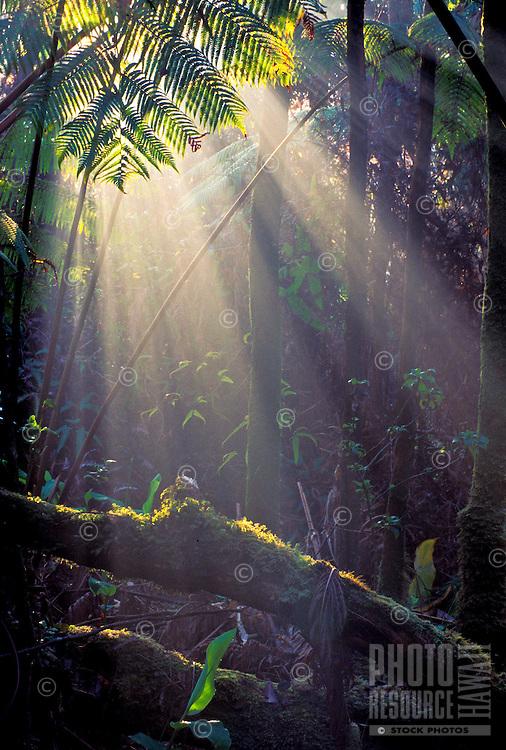 Sunlight shining on Hapuu ferns