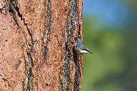 Pygmy Nuthatch (Sitta pygmaea) on side of ponderosa pine tree.  Western U.S.