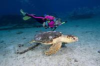 Scuba diver follows Loggerhead sea turtle, Caretta caretta, Bahamas, Caribbean, Atlantic