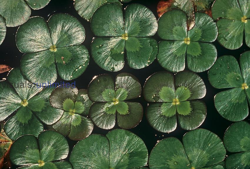 .Water Ferns (Marsilea mutica)...