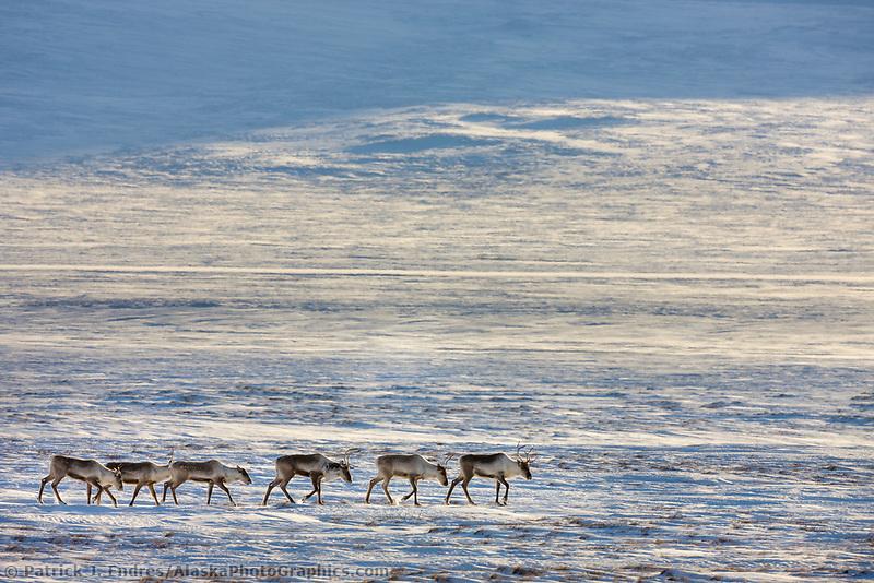 Caribou travel across the snow covered tundra in the Atigun Canyon, Brooks range mountains, arctic, Alaska.