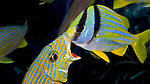Blue-striped Grunt and Porkfish, Key Largo, Florida