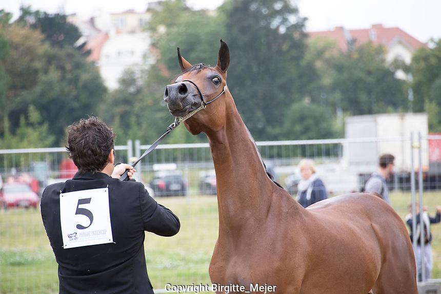 Arabian horse and handler at Prague Intercup show.