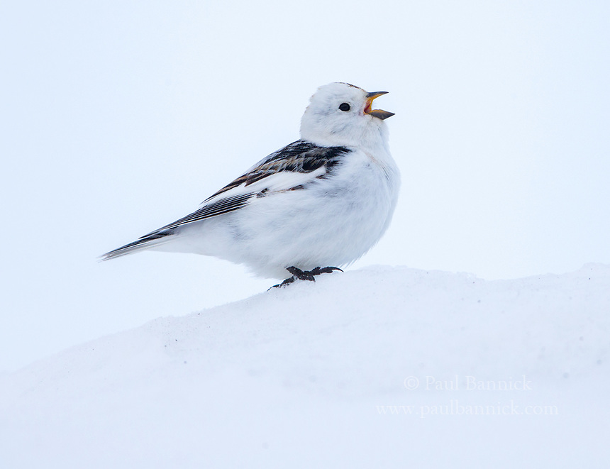 Snow Buntings are the first bird to arrive and sing on the Arctic tundra.