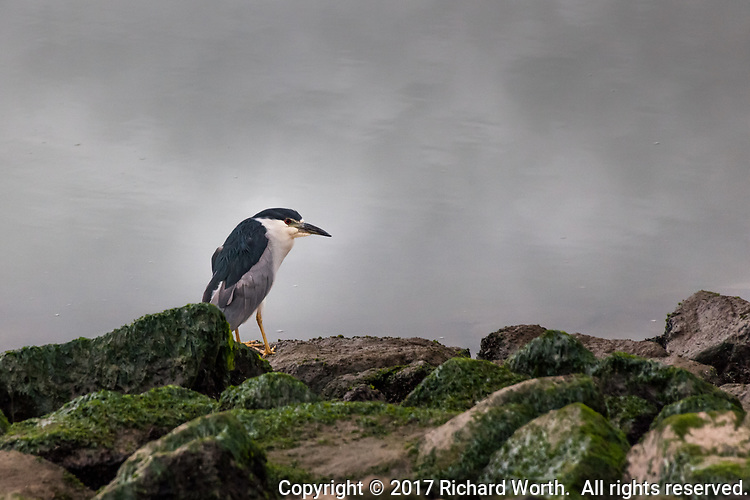 A Black-crowned night heron stands motionless on the rocky shore of the small boat lagoon at San Leandro Marina Park on San Francisco Bay.