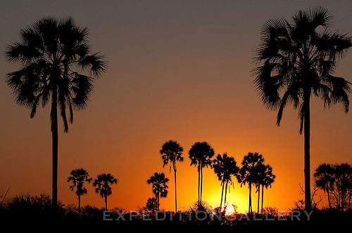 Palm trees silhoetted at sunset, Okavango Delta, Botswana, Africa.