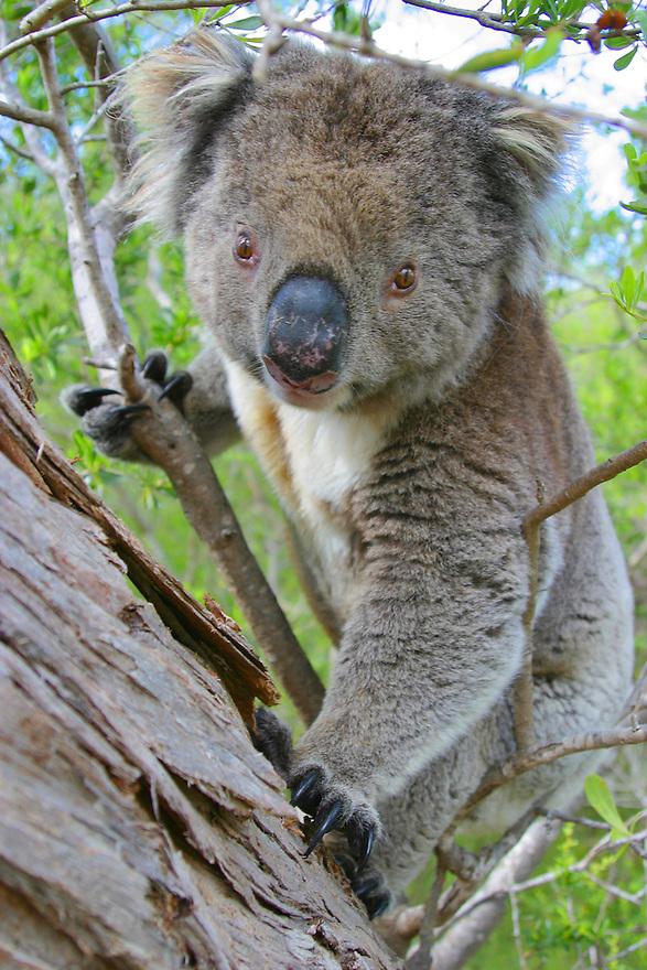 Koala Eyre Peninsula South Australia
