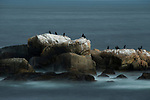 Double-crested Cormorant (Phalacrocorax auritus) group on coastal rocks, Gloucester, Cape Ann, eastern Massachusetts