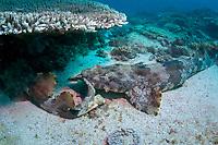 Ornate Wobbegong Shark, Orectolobus ornatus, mating behaviour with male biting females tail, Flinders Reef, Moreton Bay Marine Park, Brisbane, Queensland, Australia, Pacific Ocean