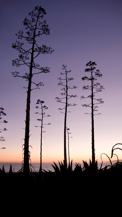 Trees during sunset, Santa Monica, California
