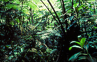 Giant ferns and other rainforest vegetation on the Big Island of Hawaii.