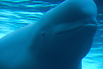 beluga whale, Delphinapterus leucas, face, under water, not released