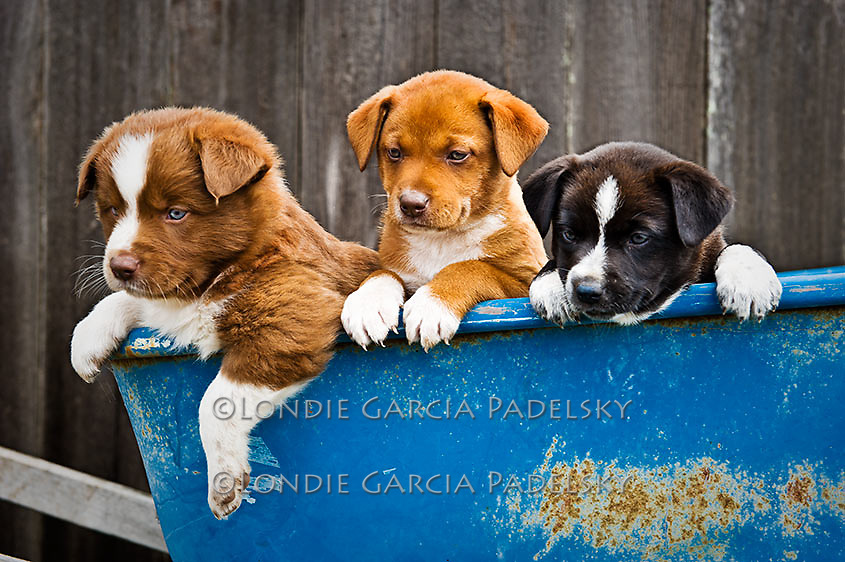 Playful puppies in the blue wheelbarrel, San Luis Obispo, California