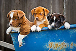 Playful puppies in the blue wheelbarrel, San Luis Obispo, California