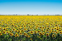 A sea of endless sunflowers blankets the fields in the valleys near Sacramento
