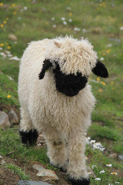 Mountain sheep in the Alps near the Matterhorn, Zermatt, Switzerland. .  John offers private photo tours in Denver, Boulder and throughout Colorado, USA.  Year-round. .  John offers private photo tours in Denver, Boulder and throughout Colorado. Year-round.