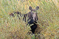 Moose, Tetons National Park