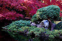 Japanese Maples and Great Blue Heron