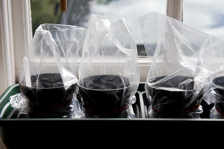 Sowing melon seeds 4 of 4. Place the pots indoors on a sunny windowsill, each in its individual propagation tent.