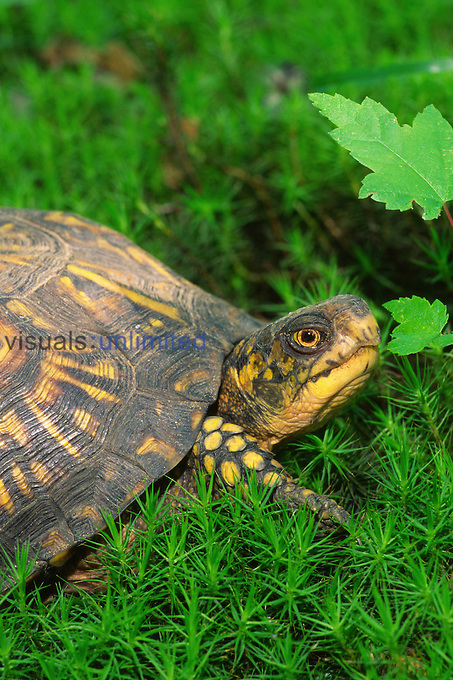 Female Eastern Box Turtle (Terrapene carolina carolina)  found in forests of the eastern United States.
