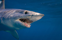female Mako Shark, Isurus oxyrinchus, Cape Point, South Africa