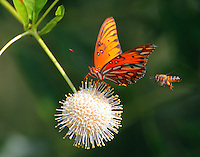 Gulf fritillary and bee at buttonbush