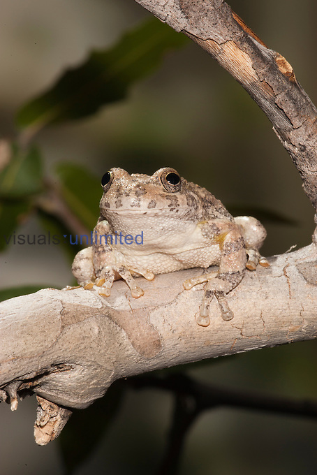 Canyon Tree Frog (Hyla arenicolor), Madera Canyon, Arizona, USA