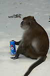 Pictured: A monkey finishes off the last drops of a discarded can of fizzy drink after fighting off rivals for a chance to take a sip.  The long-tailed macaque has just finished wrestling other members of its troop for the can, which was thrown their way by a tourist in Phuket, Thailand.<br /> <br /> Despite also being known as crab-eating macaques, the animal's enjoy an opportunistic diet which means that they will eat or drink whatever they can get their hands on.  Joshua Eulogio Da Costa, from Sharjah, near Dubai, was only two steps away from the monkeys when he captured the images.<br /> <br /> Please byline: Joshua Da Costa/Solent News<br /> <br /> © Joshua Da Costa/Solent News & Photo Agency<br /> UK +44 (0) 2380 458800