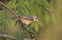Black-crested Titmouse, Baeolophus atricristatus,young, Welder Wildlife Refuge, Sinton, Texas, USA, June 2005