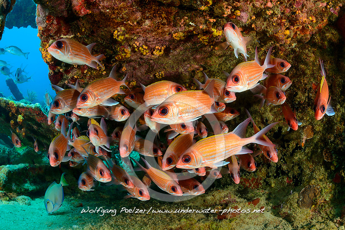 Neoniphon marianus, Gestreifte oder gelber Husar am Schiffswrack Rhone, Longjaw squirrelfish on Shipwreck Rhone, Virgin Gorda Island, Britische Jungferninsel, Karibik, Karibisches Meer, British Virgin Islands, BVI, Caribbean Sea