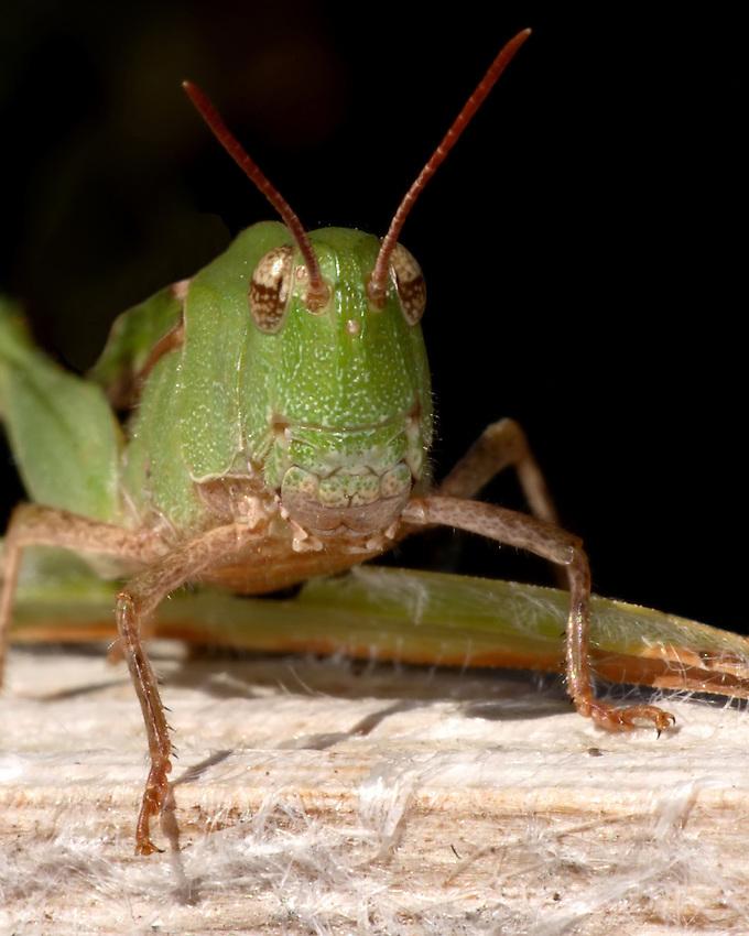 Band-winged Grasshopper (Encoptolophus subgracilis)