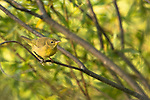 Common yellowthroat - 1st year