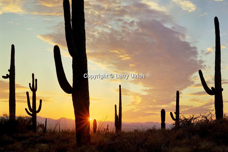 Saguaro cactus at sunset<br /> Tucson Mountain Unit<br /> Saguaro National Park<br /> Sonoran Desert,  Arizona