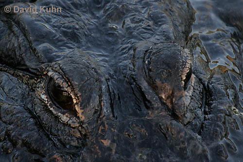 0709-0806  American Alligator - Alligator mississippiensis  © David Kuhn/Dwight Kuhn Photography