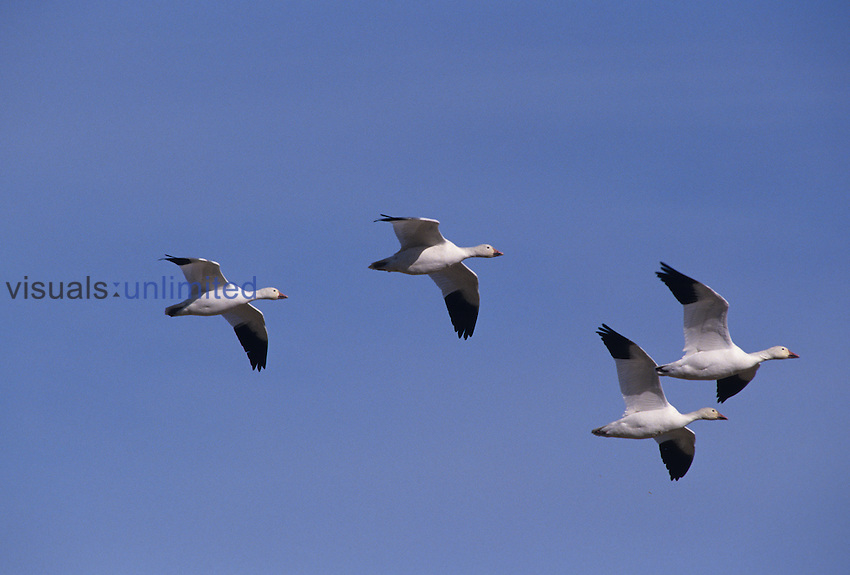 Snow Geese in flight (Chen caerulescens), North America..