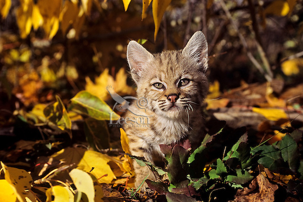Young Bobcat (Lynx rufus) kitten.  Western U.S., fall.