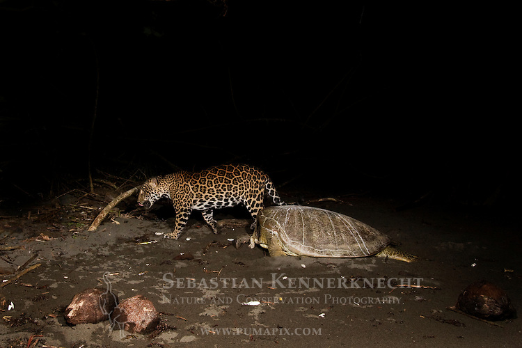 Jaguar (Panthera onca) female and predated Green Sea Turtle (Chelonia mydas) at night, Coastal Jaguar Conservation Project, Tortuguero National Park, Costa Rica