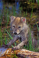 Gray wolf or timber wolf pup (Canis lupus). Summer. Rocky Mountains.