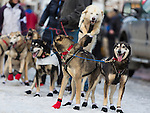 An excited sled dog team waits in anticpation of the start of the race at the ceremenial start of the 43rd Annual Iditarod in Anchorage, Alaska. The 1000 mile dog sled race usually restarts in Willow, Alaska, and finishes in Nome. Poor snowfall, however, forced the restart north to Fairbanks.