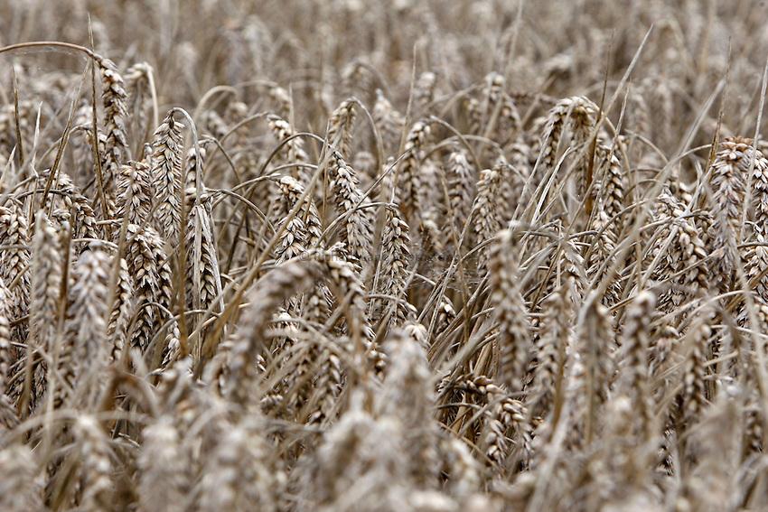 Photo: Richard Lane/Richard Lane Photography. Grain harvest near Little Missenden, Buckinghamshire. Winter wheat, looking black from the wet weather. 16/09/2008.