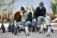 Biopark workers feed fish to penguins.<br /> Nine pairs of African Penguins, also known as the jackass penguin and black-footed penguin, were welcomed by Rome's biopark. <br /> Roma 27-12-2018 Bioparco <br /> Foto Andrea Staccioli / Insidefoto