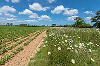 Field margin with wild flowers - Norfolk, June