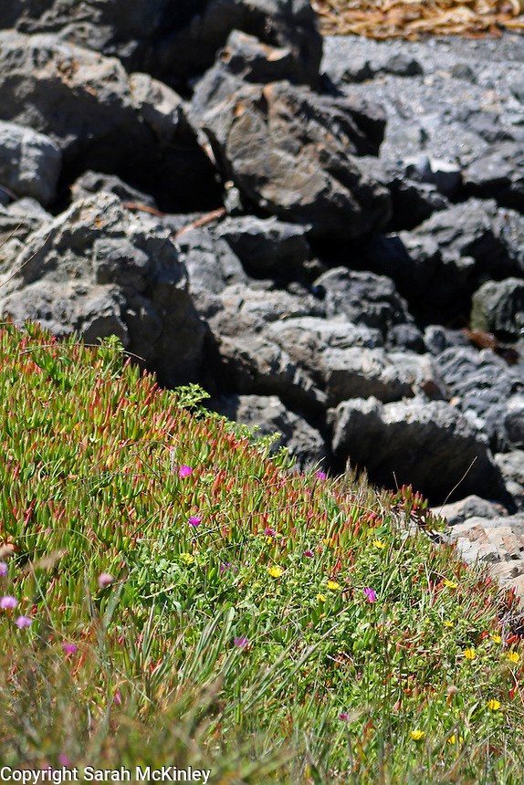 Ice plant grows on a slope against a rocky shore background at MacKerricher State Park near Fort Bragg on the Pacific Coast of Mendocino County in Northern California.