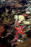 Bat stars, Queen Charlotte Islands, Haida Gwaii, Dolomite Narrows, British Columbia, Canada, Uniquely colorful sea stars, Asterina (formally Patiria) miniata..
